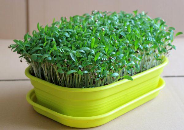 friss koriander mikrozöld