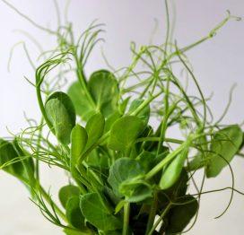 zöldborsó mikrozöld