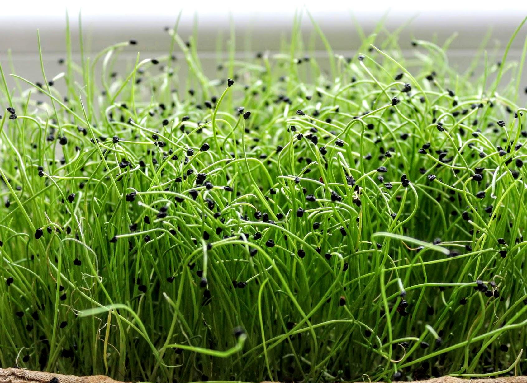 póréhagyma mikrozöld