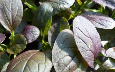 Milyen fajtákat válassz az őszi, téli salátakertedhez?