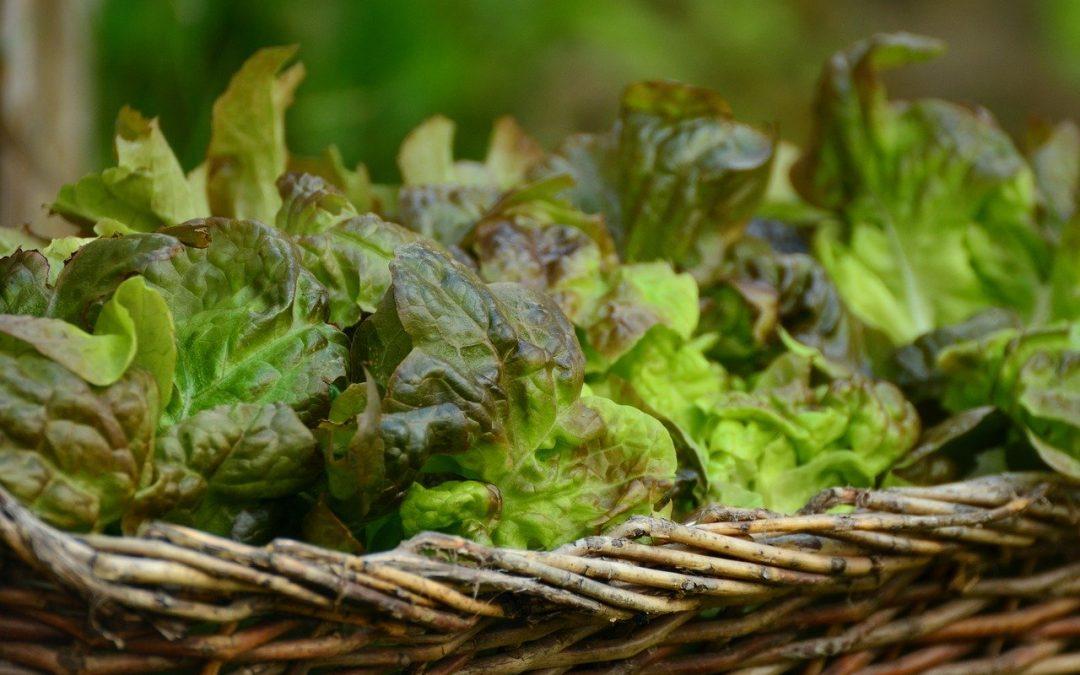 kezeletlen saláta vetőmag