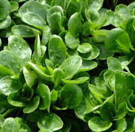 galambbegy saláta vetőmag